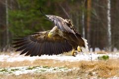 Grzegorz-Wajzer-Lądowanie---Bielik